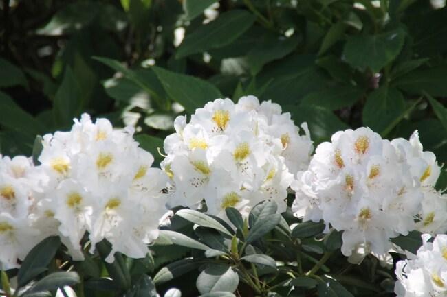 Rhododendron Porzelan