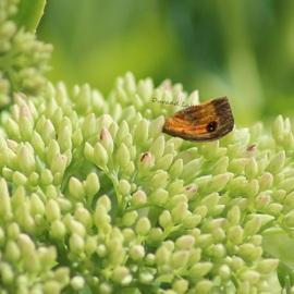 Aile d'Amaryllis ou Pyronia Tithonus