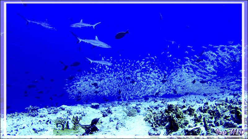 Plongée à la passe nord Garuae - Fakarava - Archipel des Tuamotu - Polynésie française