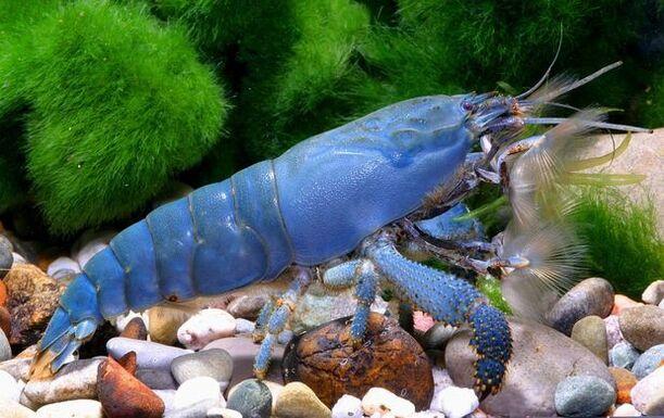 Crevette bleue du Gabon