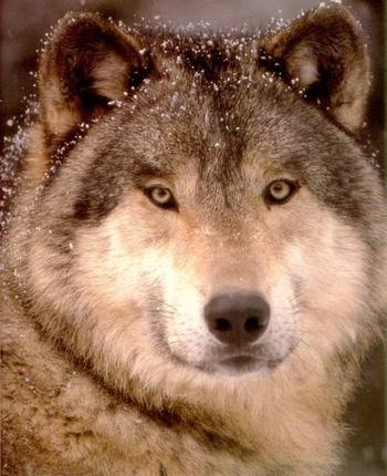 wolf-01-orig