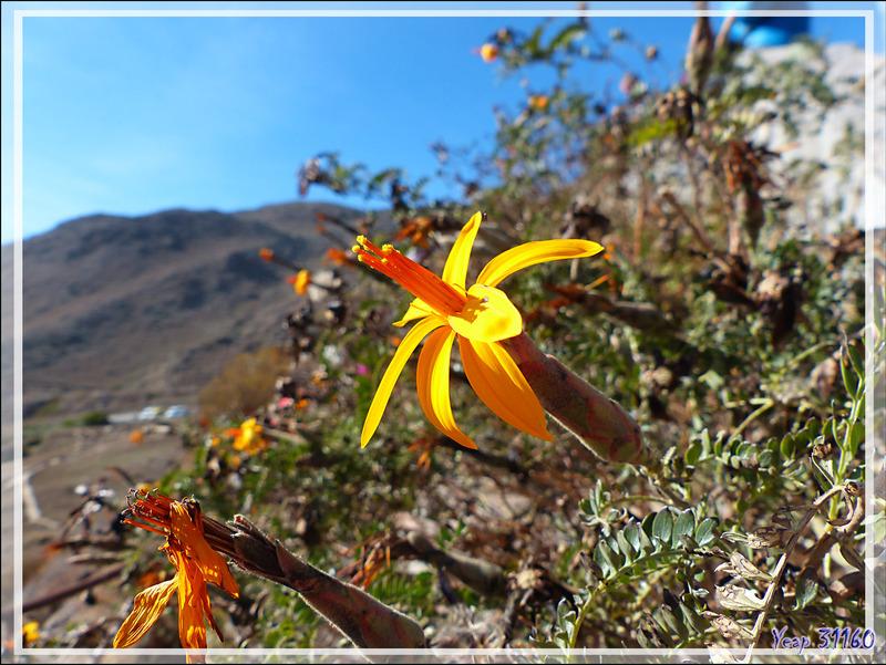 En attendant l'arrivée des condors : Fleur de Chinchircuma (Mutisia acuminata) - Cruz del Condor - Cañon de Colca - Pérou