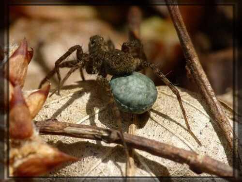 Les lycosidae et leur cocon