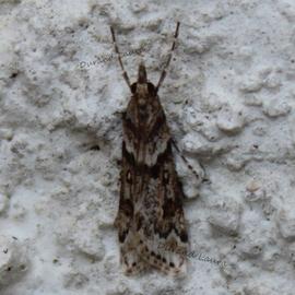 Eudonie Anguleuse ou Eudonia Angustea