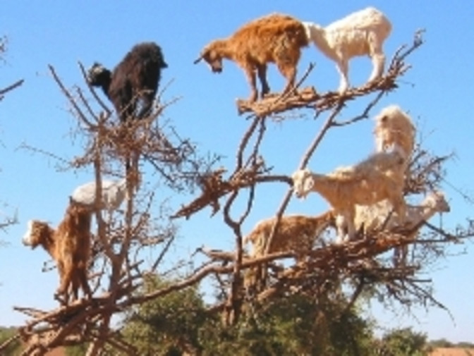 chevres-autres-animaux-autres-arbres-essaouira-maroc-7670709491-936745