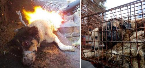 Le festival de la viande de chien de Yulin