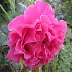 rose Princesse Alexandra Renaissance de Poulsen