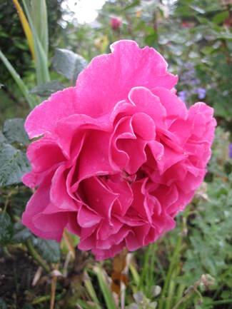 Rose ' Princess Alexandra ' Renaissance de Poulsen