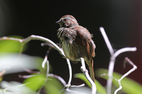 Song sparrow - Portland