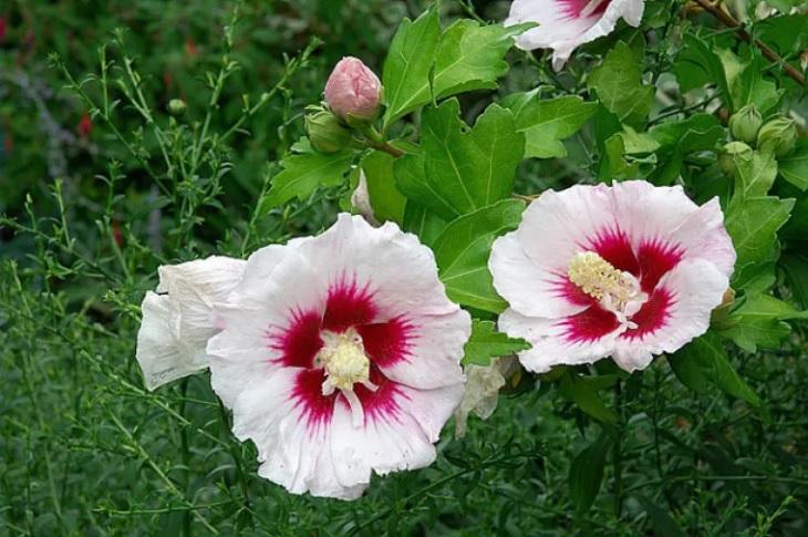 1 Ketmie des jardins Althéa (Hibiscus syriacus)