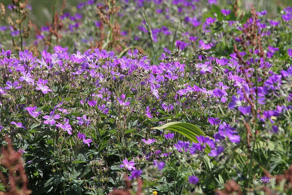 Haute-Maurienne 2019: les prairies fleuries