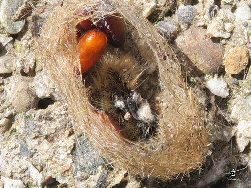 cocon d'une ecaille parasitée par une mouche tachinaire pupes orange