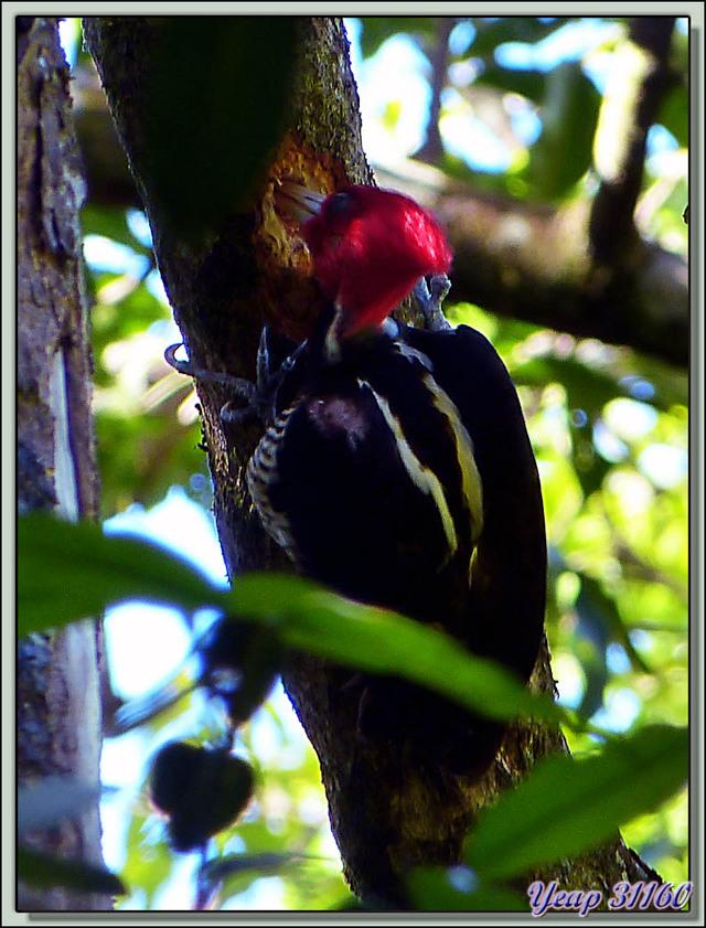 Blog de images-du-pays-des-ours : Images du Pays des Ours (et d'ailleurs ...), Pic à bec clair (Campephilus guatemalensis) - Rincon de la Vieja - Costa Rica