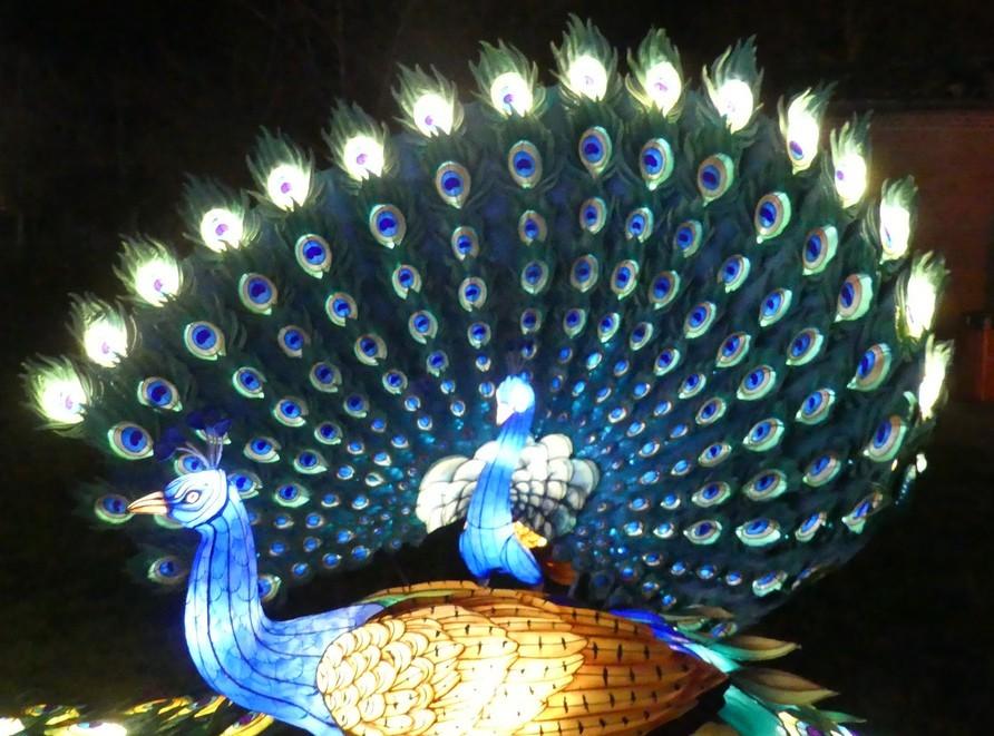 Le paon déployant ses plumes, au festival des lanternes chinoises à Gaillac...