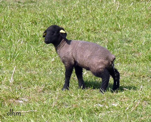 """Moutons du """"pré salé """" Mt St Michel"""
