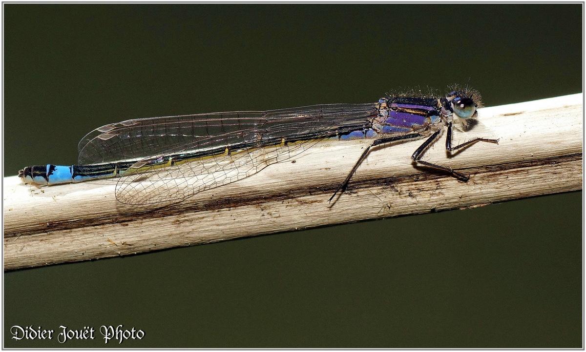 Agrion élégant (7) - Ischnura elegans