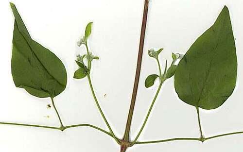 Fleurs cultivées : Clématites
