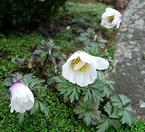 Anemone-blanda-blanche--31-03-10-009.jpg