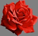 *** 452.Femme à la rose rouge ***