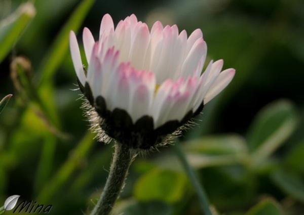 Les petites fleurs sauvages de mon jardin...