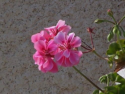 fleurs010