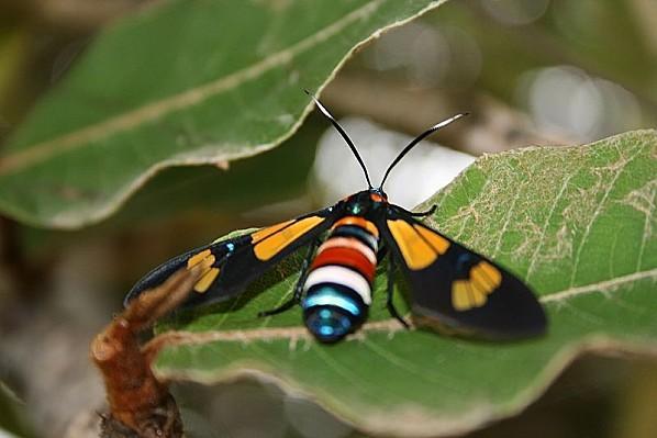 800px-Papillon boucotte