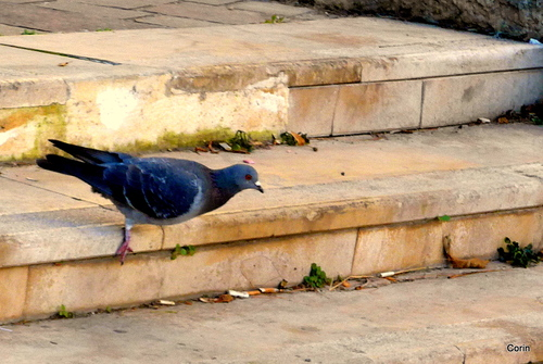 Les pigeons ...