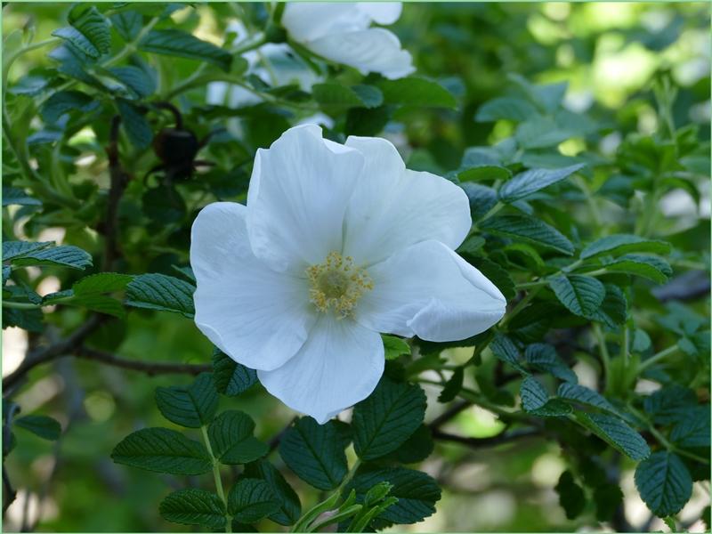 Fleurs du marais. (1)