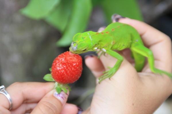 fraise-21-05-11-069.JPG