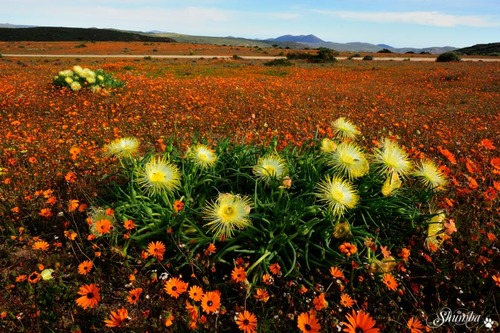Namaqua flower bloom