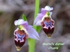 (endemic to cyprus) ophrys lapethica -lapta orkidesi- lapithos bee-orchid (7)