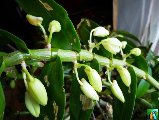 Mes orchidées bambous en décembre.