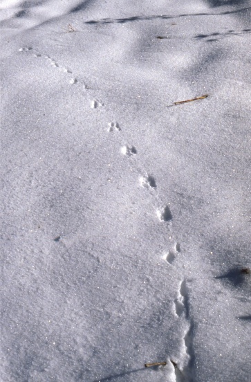 empreintes de lapin/lièvre dans la neige sur le chemin de la Mâture (novembre 1983)