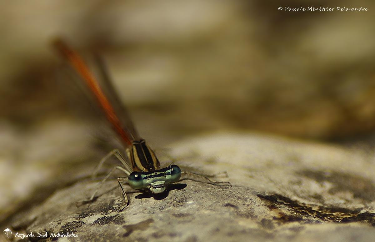 Pennipatte orangé ♂ - Platycnemis acutipennis