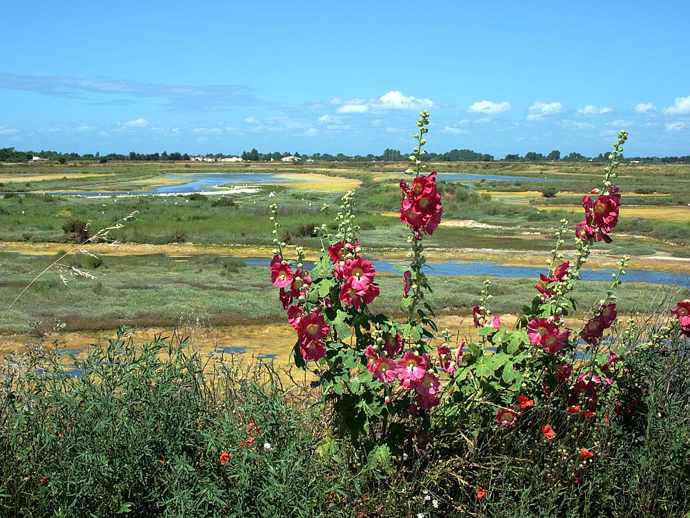Roses tr mi res sur fond de marais les portes en r ile de r 17 images du pays des ours - Planter des roses tremieres ...