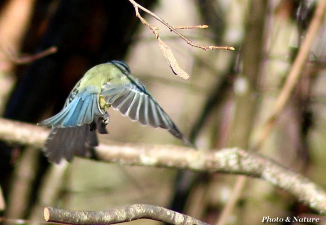 Mésange bleu en vol