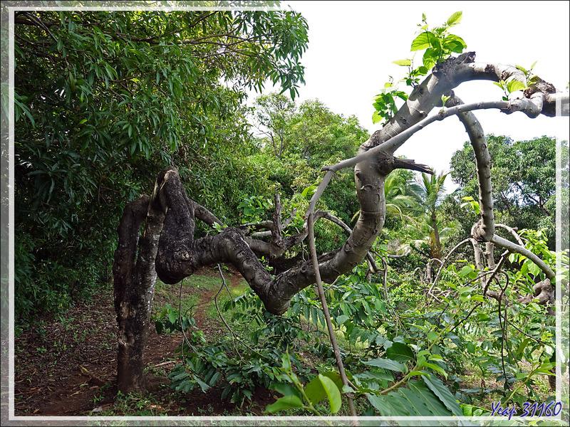 Sur les hauteurs d'Antanambe (ou Antanabe) : culture d'ylang ylang - Nosy Sakatia - Madagascar