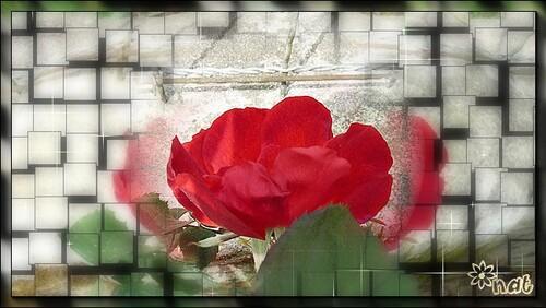 Une jolie rose