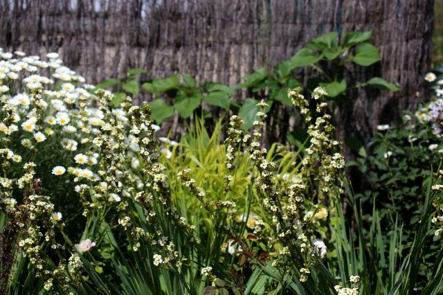 Des Compagnes pour mes Roses : Sisyrinchium striatum