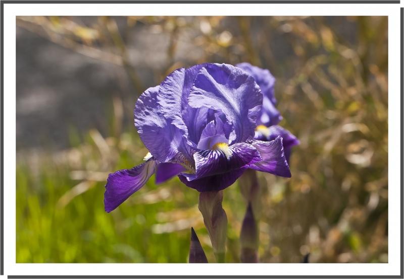 l'iris et son histoire