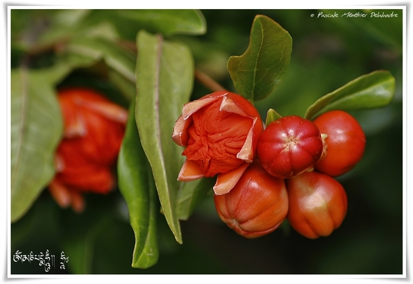 Fleurs de grenade