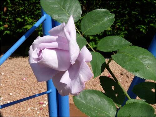 rosier Sissi