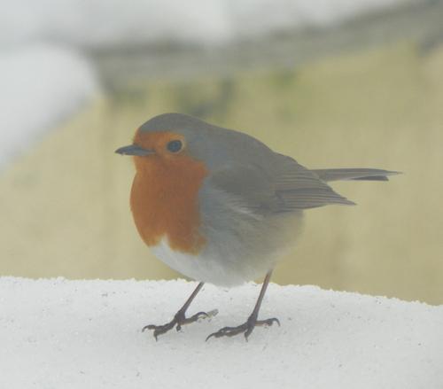 Nos petits amis ailés en hiver