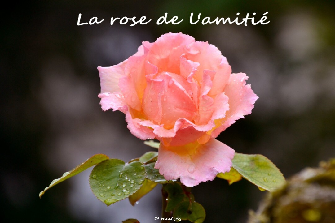 La rose de l'amitié - ©maiteds