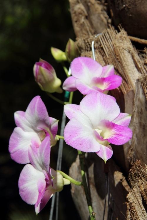 Orchidées de Birmanie