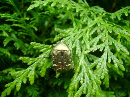Le scarabé