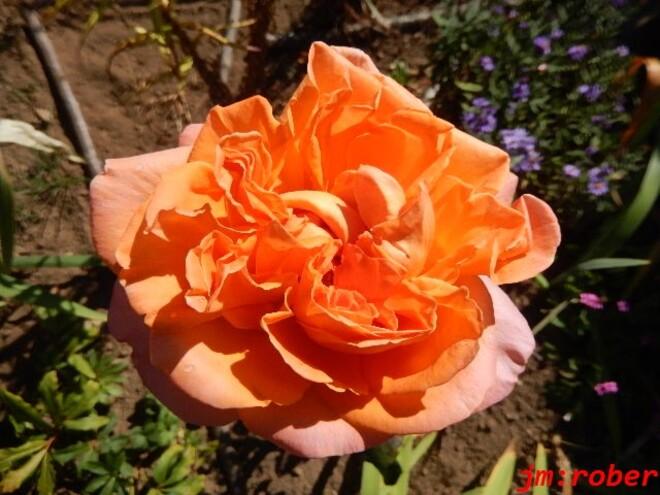 La rose d'octobre se présente dans toute sa gloire et beauté