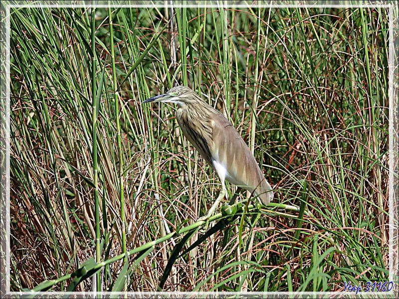 Crabier chevelu, Squacco Heron (Ardeola ralloides) - Safari nautique - Parc National de Chobe - Botswana