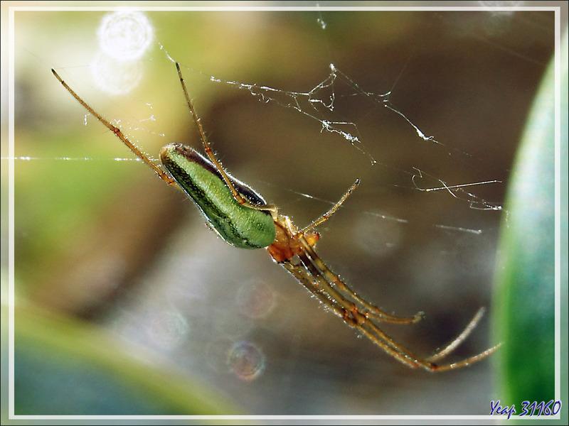Araignée Tétragnathe étirée, Common long jawed orb weaver spider (Tetragnatha extensa) - Lartigau - Milhas - 31