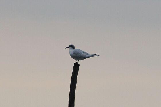 Sterne Caujek (Sandwich Tern)
